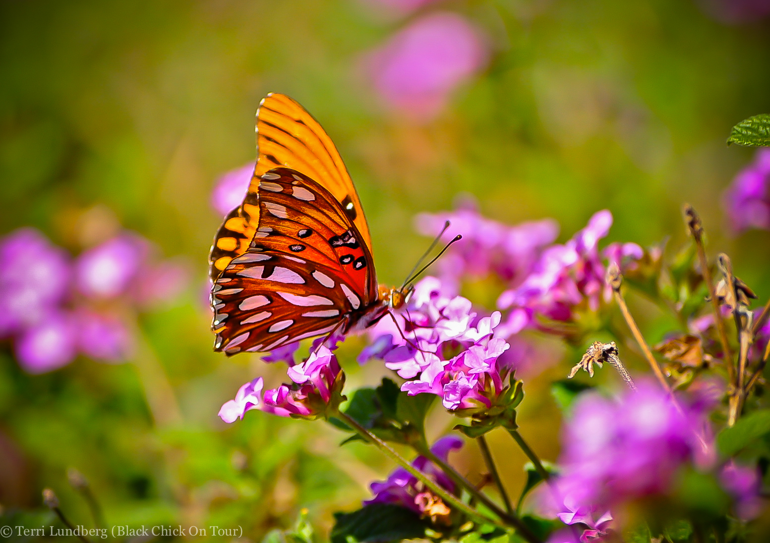 Butterfly on Pink Flowers - Black Chick On Tour