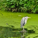 bird in green water