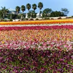 San Diego Hometown Tourist:  The Flower Fields of Carlsbad