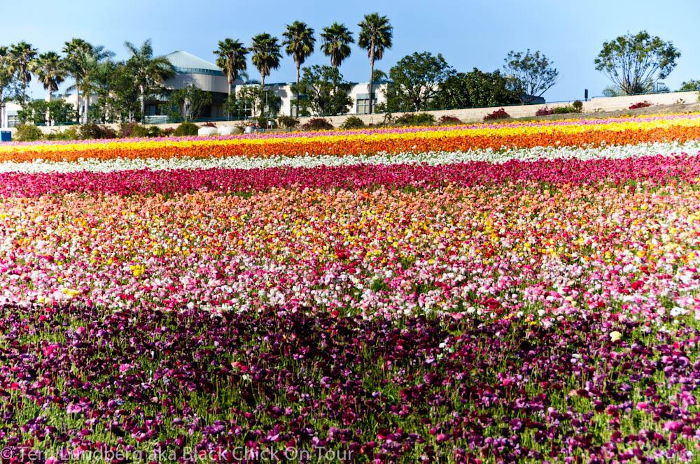 San Diego Hometown Tourist:  The Flower Fields of Carlsbad