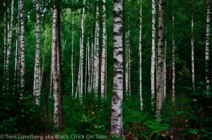 Birch Tree Forest (Sweden)