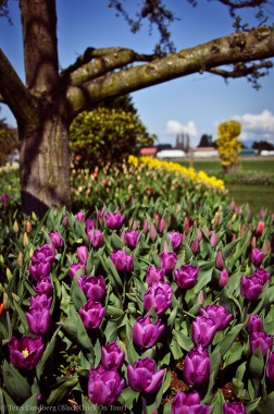 Purple Tulips Under Tree