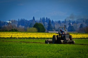 Skagit Valley Daffodils Guy on Tractor