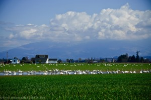 Skagit Valley Geese on Water
