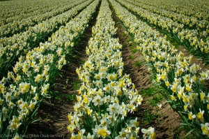 Skagit Valley White and Yellow Daffodils Rows