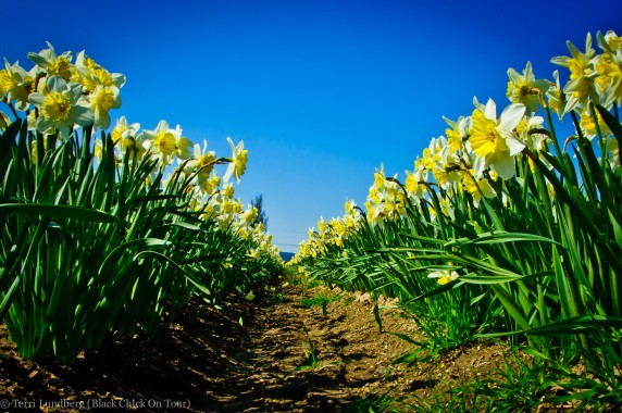 Skagit Valley White and Yellow Daffodils_