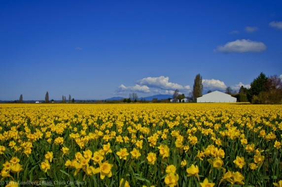 Skagit Valley Yellow Daffodils with White House