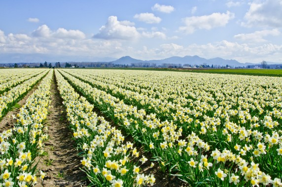 White and Yellow Daffodils in Field