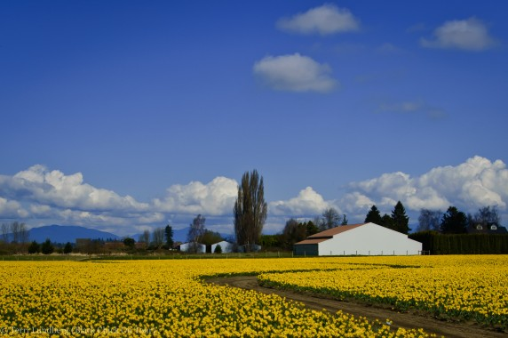Winding Dirt Road with Yellow Daffodils and White House