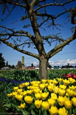 Yellow Tulips under Tree