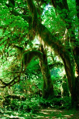 Hall of Mosses - Hoh Rainforest