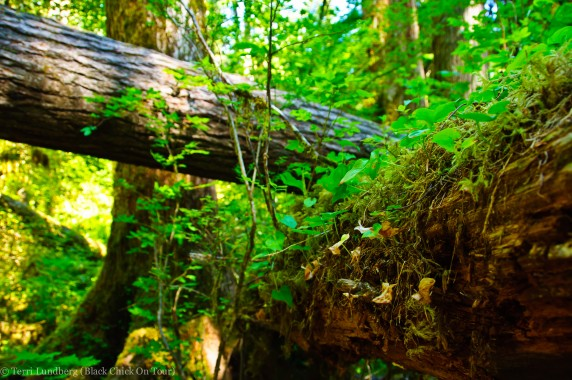 Hoh Rainforest - Fallen Trees