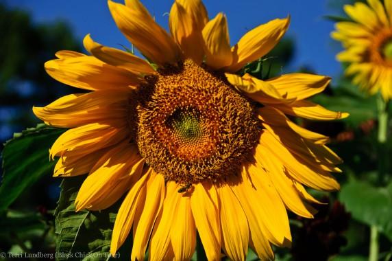 Sunflower at Missouri Botanicals Garden